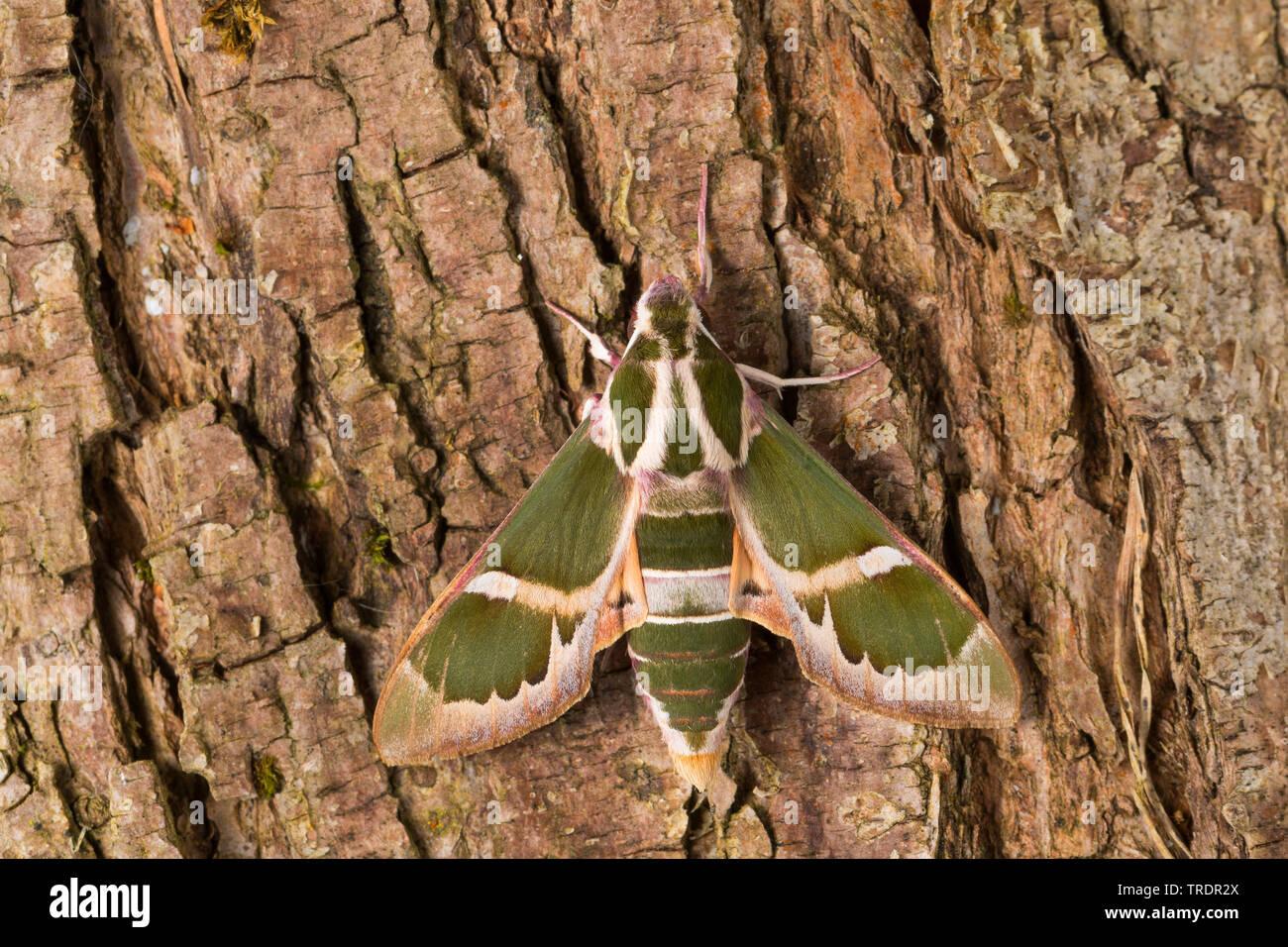 Schwaermer, Rethera komarovi (Rethera komarovi), sitzt auf Borke, Deutschland | Schwaermer-Rethera-komarovi (Rethera komarovi), on bark, Germany | BLW - Stock Image