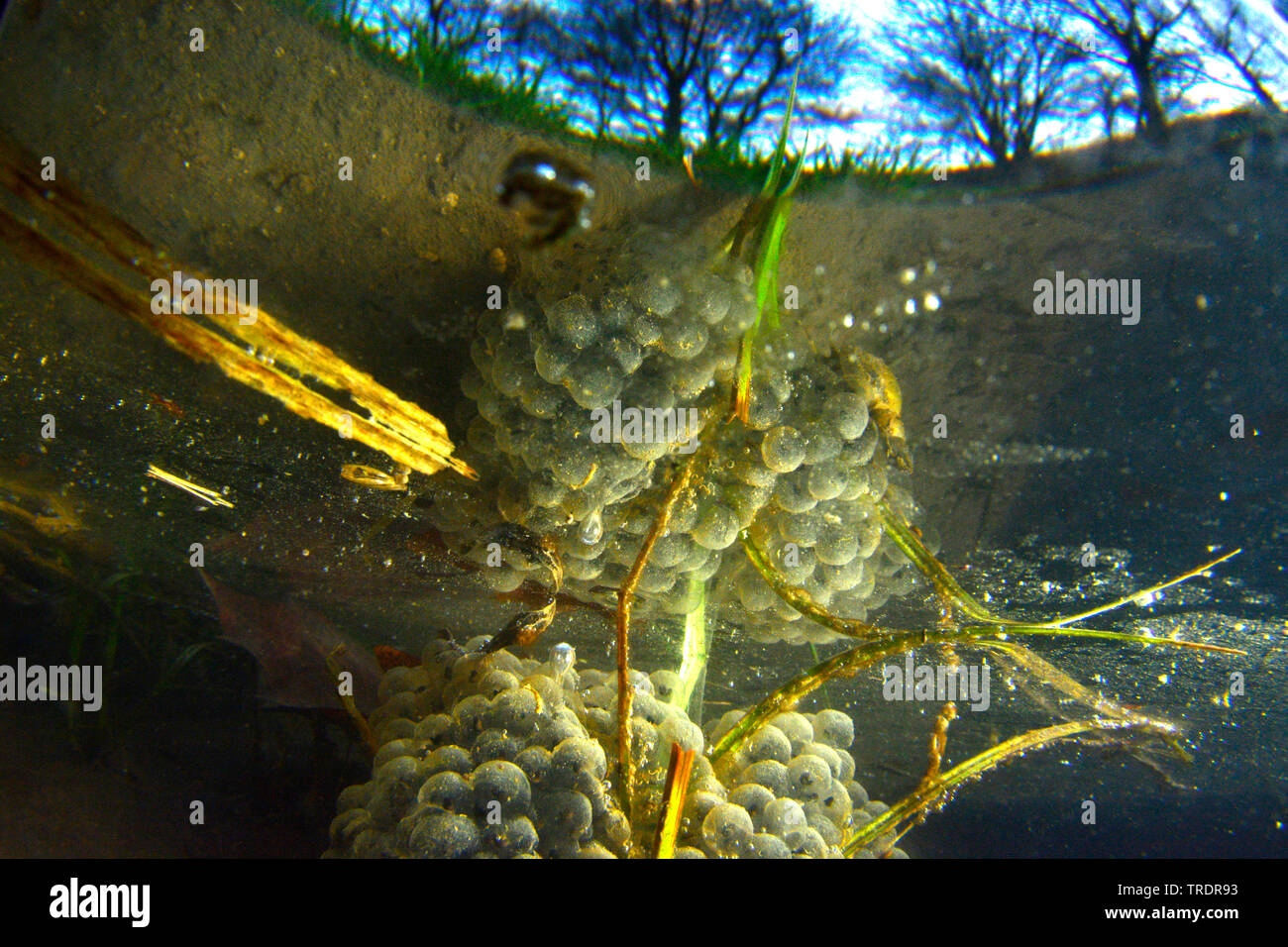 common frog, grass frog (Rana temporaria), frogspawn under water, Hungary - Stock Image