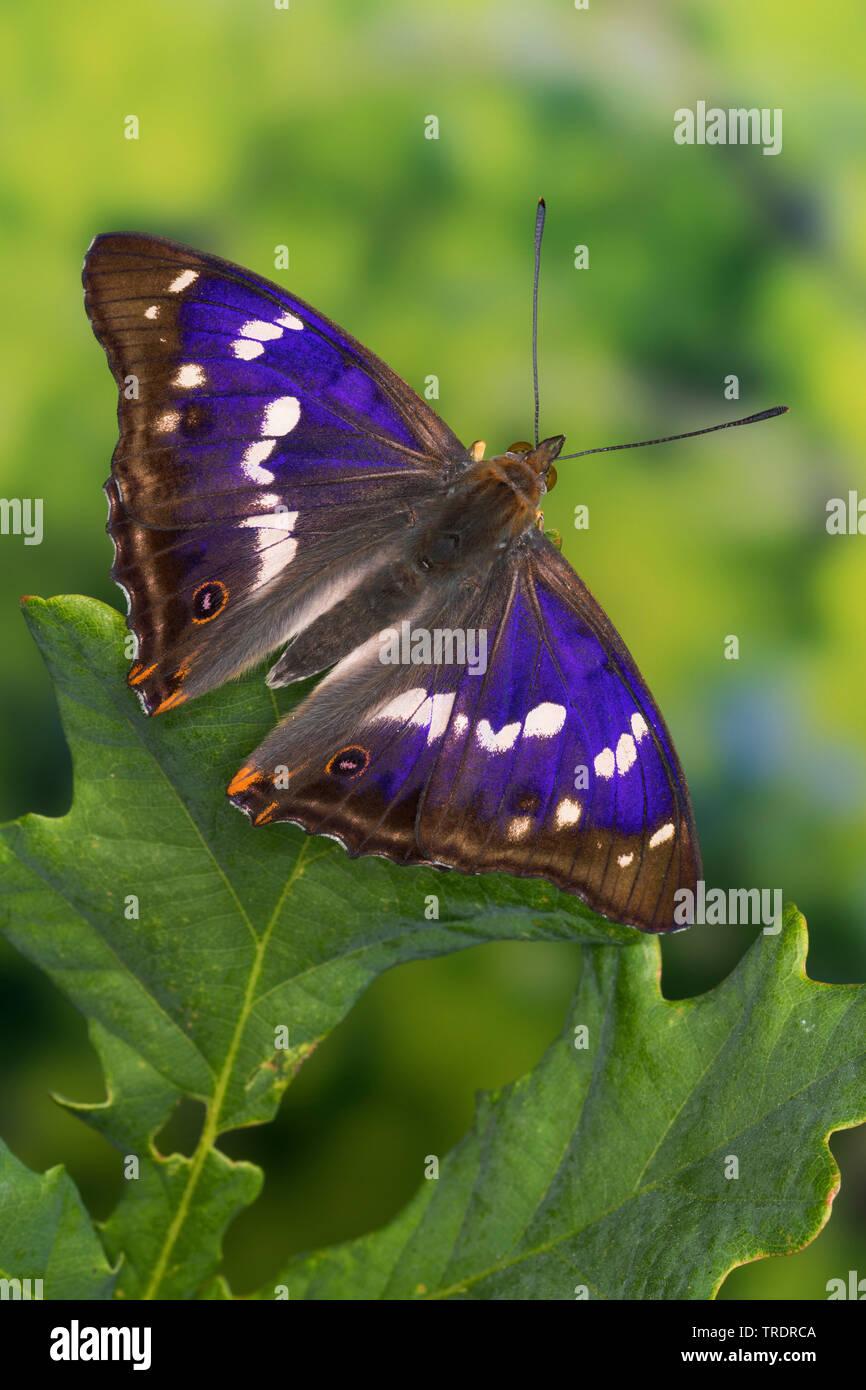 Grosser Schillerfalter (Apatura iris), Maennchen, sitzt auf einem Blatt, je nach Lichteinfall mit unterschiedlich sichtbarem Blauschiller, Deutschland - Stock Image