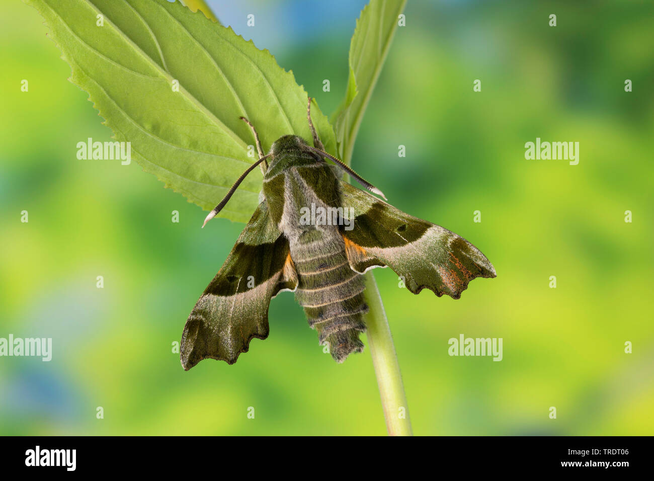 Nachtkerzenschwaermer, Nachtkerzen-Schwaermer (Proserpinus proserpina), sitzt auf Borke, Deutschland | willowherb hawkmoth, Curzon's sphinx moth (Pros - Stock Image