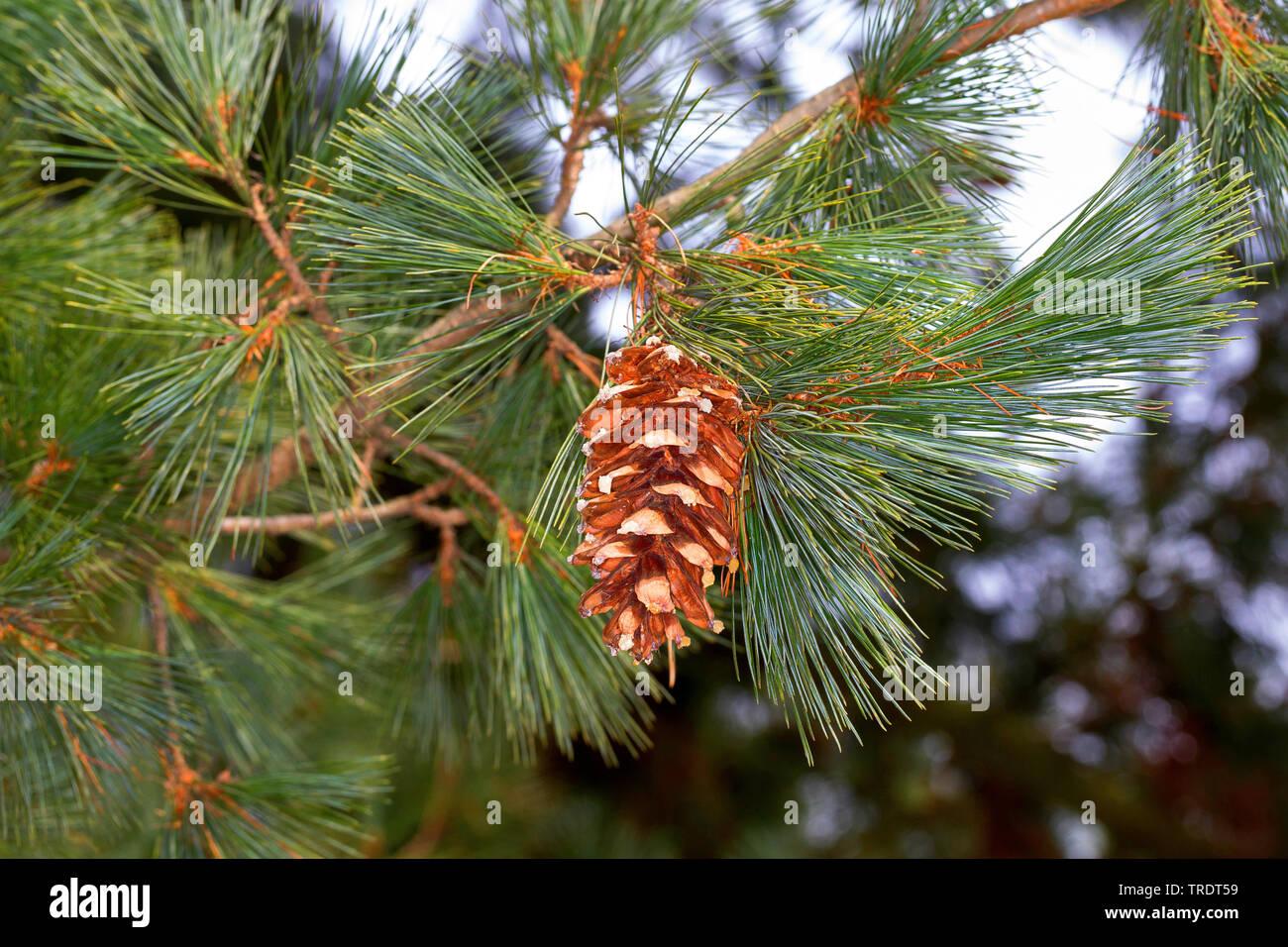 Rumelische Kiefer, Rumelische Strobe, Mazedonische Kiefer (Pinus peuce), Zweig mit Zapfen | Macedonian pine,  Balkan pine (Pinus peuce), branch with c - Stock Image