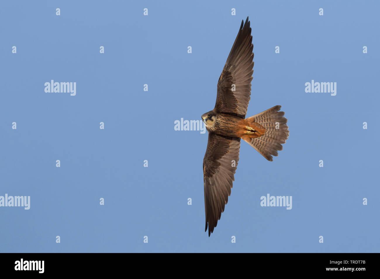 Eleonora's falcon (Falco eleonorae), flying, Cyprus Stock Photo