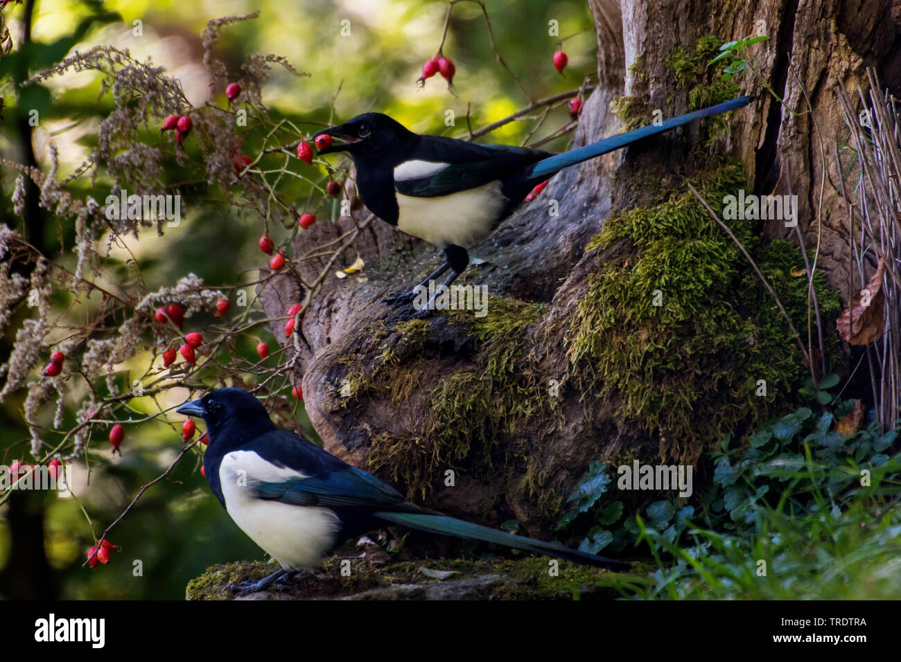 black-billed magpie (Pica pica), two black-billed magpies on mossy tree root searching for food, Switzerland, Sankt Gallen - Stock Image