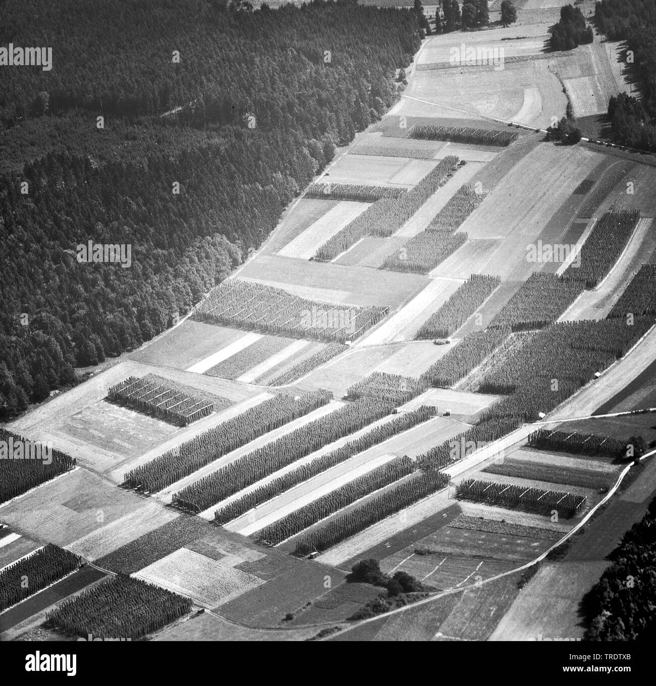 hop field in the Holledau, aerial photo around the year 1960, Germany, Bavaria - Stock Image