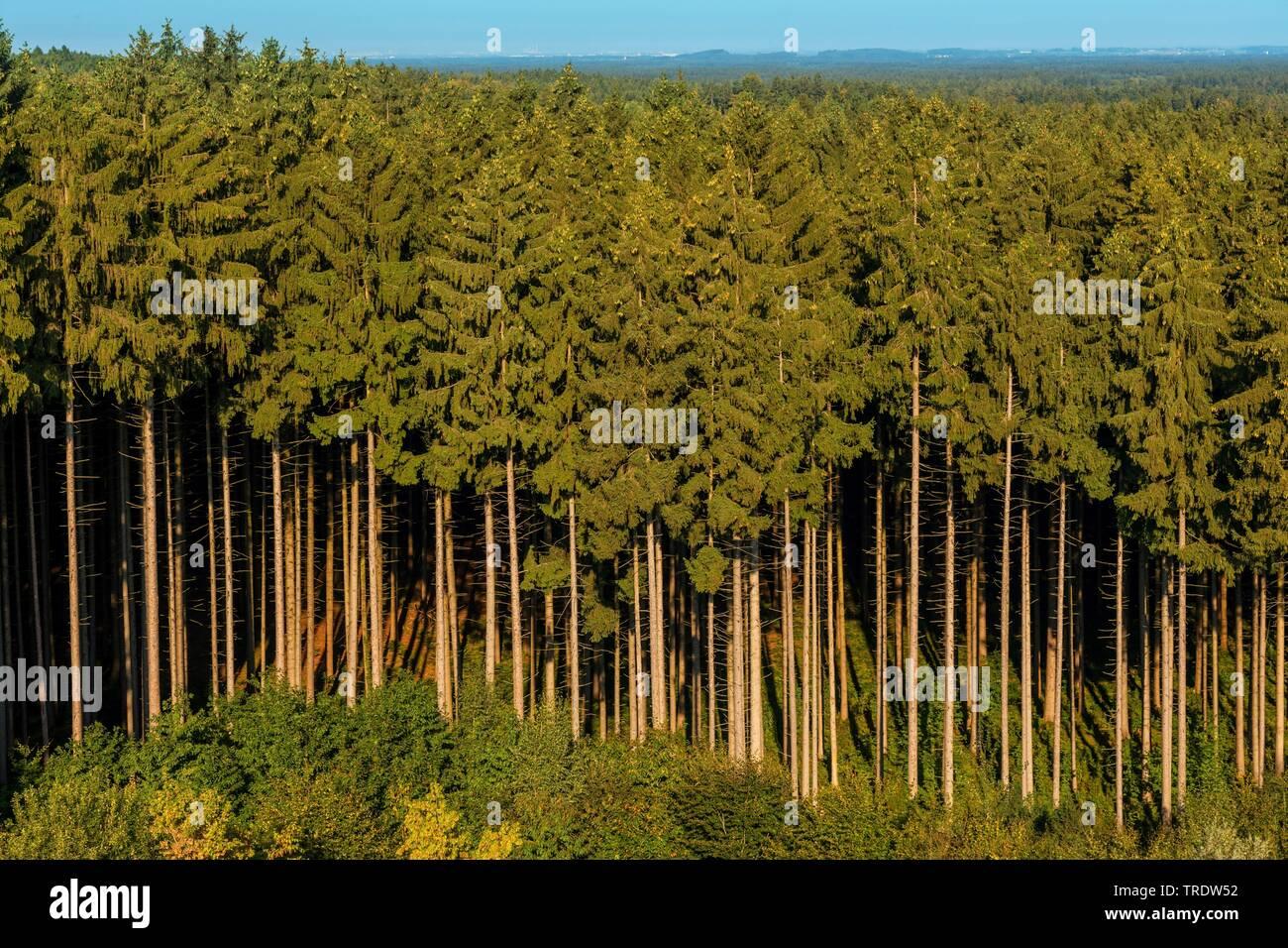 Gemeine Fichte, Gewoehnliche Fichte (Picea abies), Plantagenhochwald, Baeume mit zahlreichen Zapfen, Deutschland, Bayern, Ebersberg   Norway spruce (P - Stock Image