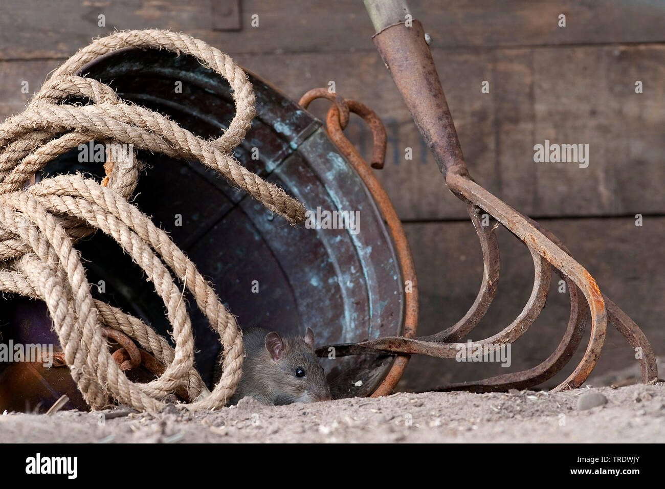 Wanderratte, Wander-Ratte (Rattus norvegicus), versteckt sich in einem alten Eimer, Niederlande, Overijssel   Brown rat, Common brown rat, Norway rat, - Stock Image