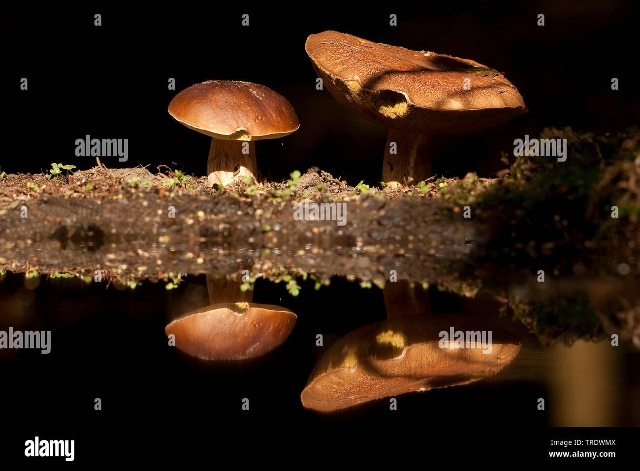 Steinpilz, Stein-Pilz, Fichten-Steinpilz, Fichtensteinpilz, Edelpilz, Edel-Pilz, Herrenpilz, Herren-Pilz (Boletus edulis), Niederlande, Overijssel   P - Stock Image