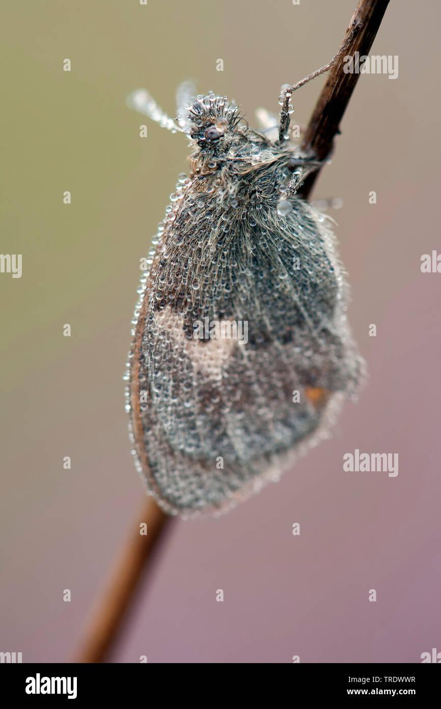 Kleines Wiesenvoegelchen, Wiesen-Voegelchen, Wiesenvoegelchen, Kleiner Heufalter (Coenonympha pamphilus), mit Morgentau benetzt, Niederlande, Overijss - Stock Image