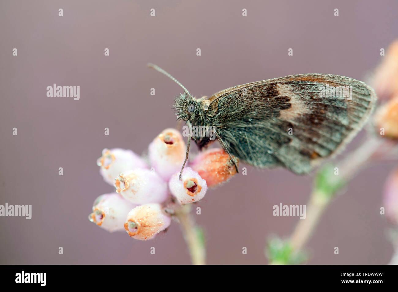 Kleines Wiesenvoegelchen, Wiesen-Voegelchen, Wiesenvoegelchen, Kleiner Heufalter (Coenonympha pamphilus), auf Glockenheide, von Morgentau benetzt, Nie - Stock Image