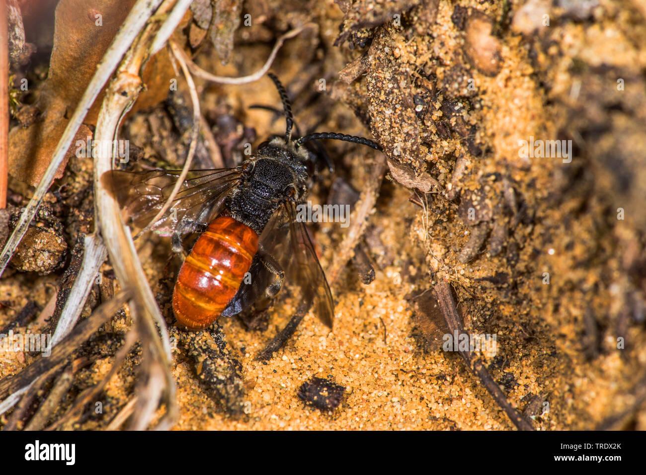 Grosse Blutbiene, Riesen-Blutbiene, Riesenblutbiene, Auen-Buckelbiene, Auenbuckelbiene (Sphecodes albilabris, Sphecodes fuscipennis), sitzt am Boden, - Stock Image
