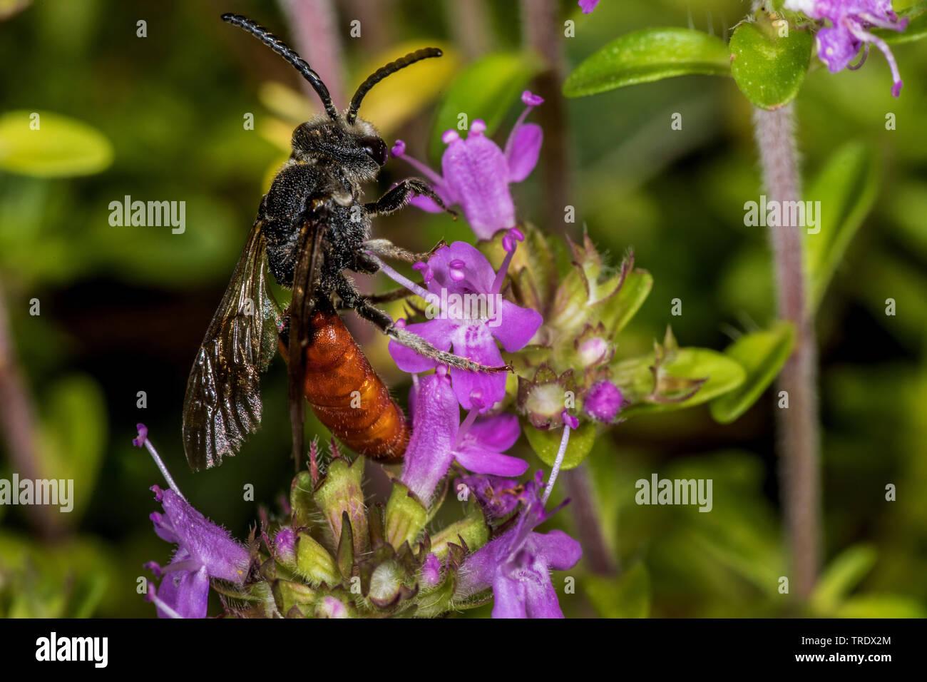 Grosse Blutbiene, Riesen-Blutbiene, Riesenblutbiene, Auen-Buckelbiene, Auenbuckelbiene (Sphecodes albilabris, Sphecodes fuscipennis), sitzt an Blueten - Stock Image