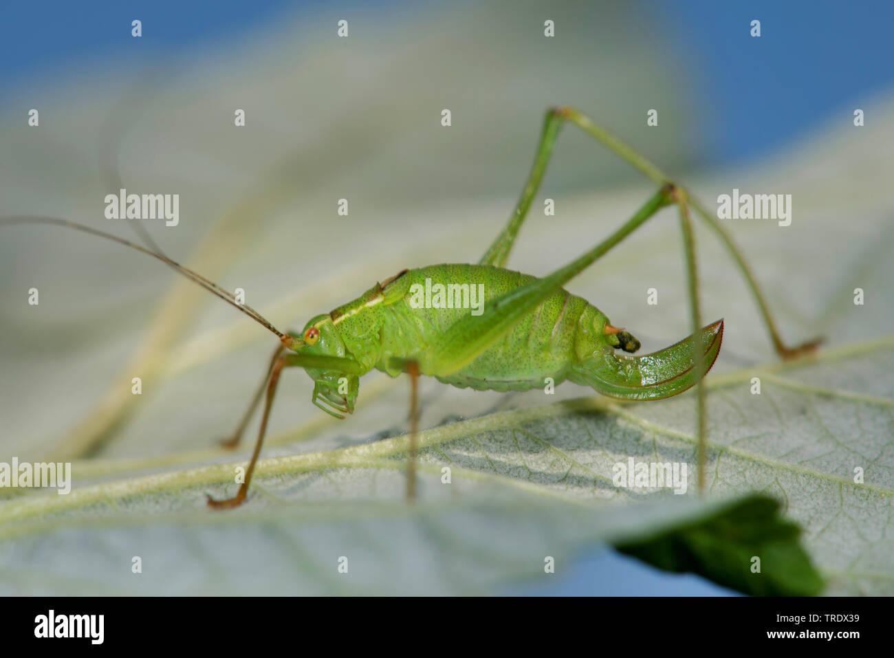 Punktierte Zartschrecke, Gewoehnliche Zartschrecke (Leptophyes punctatissima), sitzt auf einem Blatt, Deutschland | Speckled bushcricket, Speckled bus - Stock Image