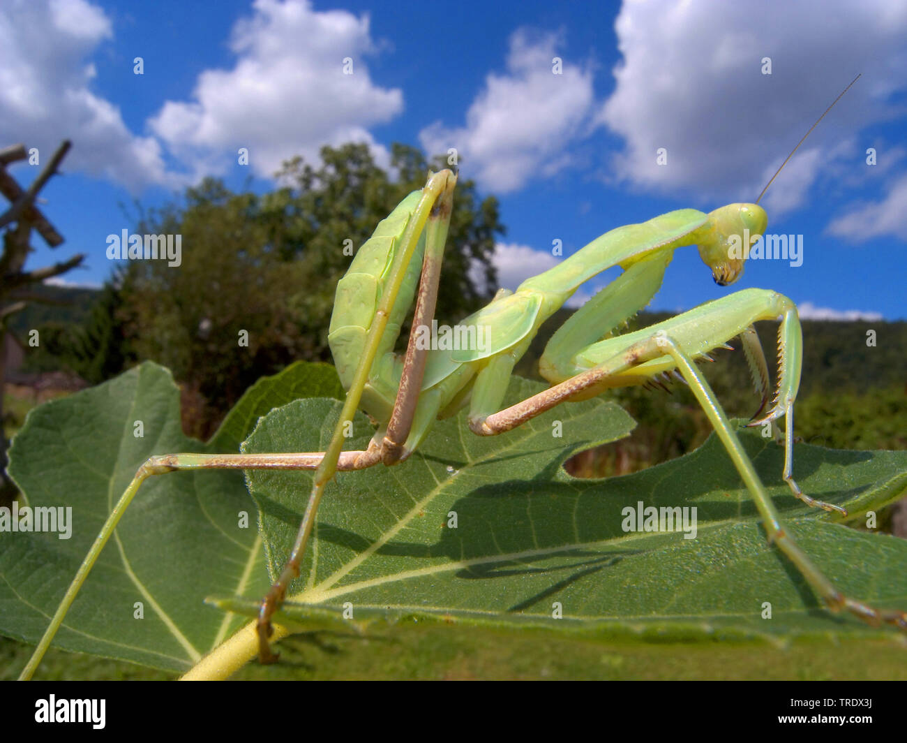 Fangschrecke, Iris oratoria (Iris oratoria), sitzt auf einem Blatt | Mediterranean mantis, iris mantis (Iris oratoria), sitting on a leaf | BLWS511386 - Stock Image