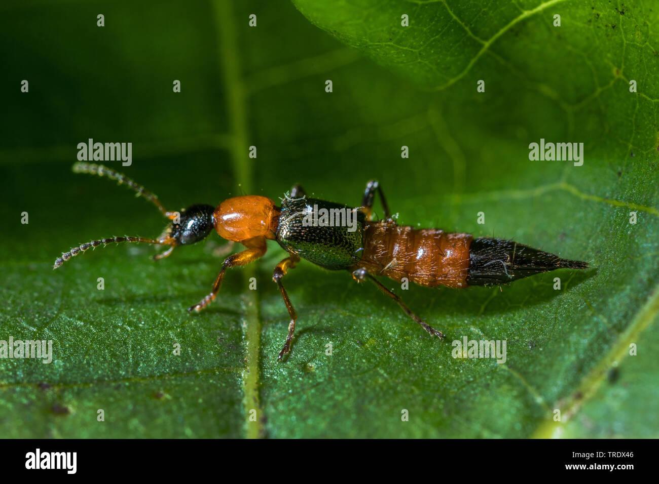 Bunter Uferkurzfluegler (Paederus riparius), sitzt auf einem Blatt, Deutschland | rove beetle (Paederus riparius), sitting on a leaf, Germany | BLWS51 - Stock Image