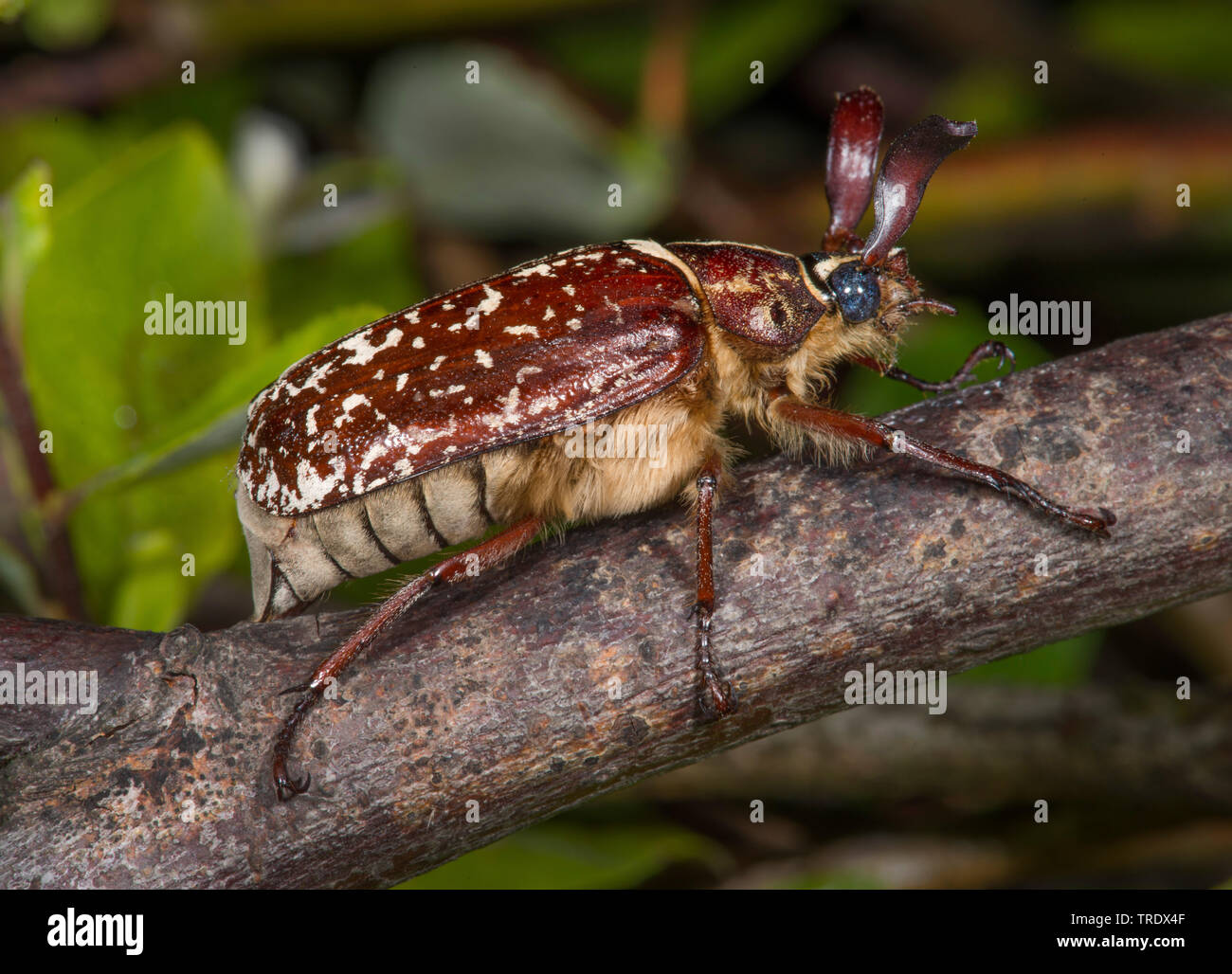 fuller (Polyphylla fullo), sitting on a branch, Germany Stock Photo