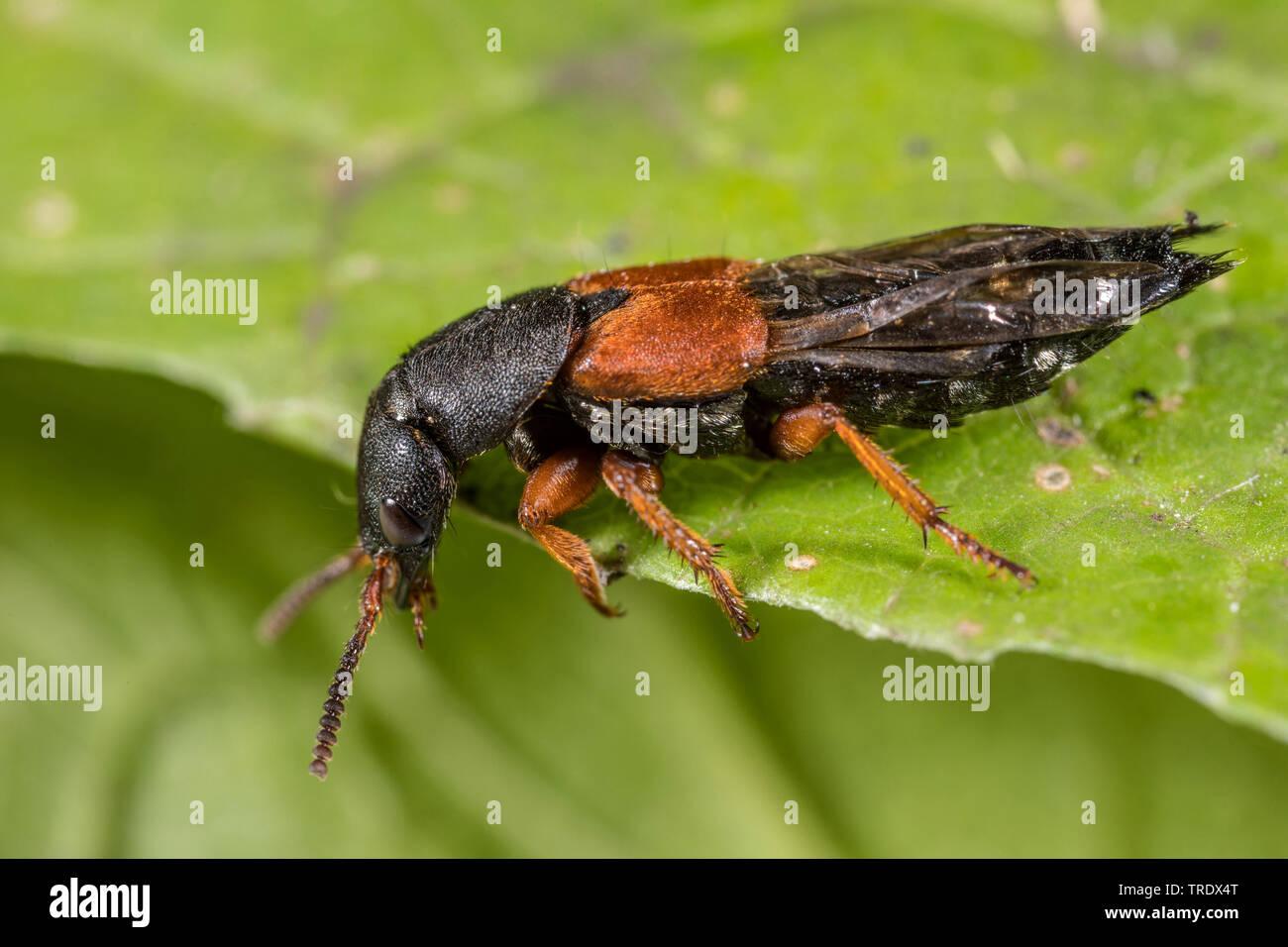 Kurzfluegler, Platydracus stercorarius (Platydracus stercorarius, Staphylinus crebrepunctatus), sitzt auf einem Blatt, Deutschland | rove beetle (Plat - Stock Image