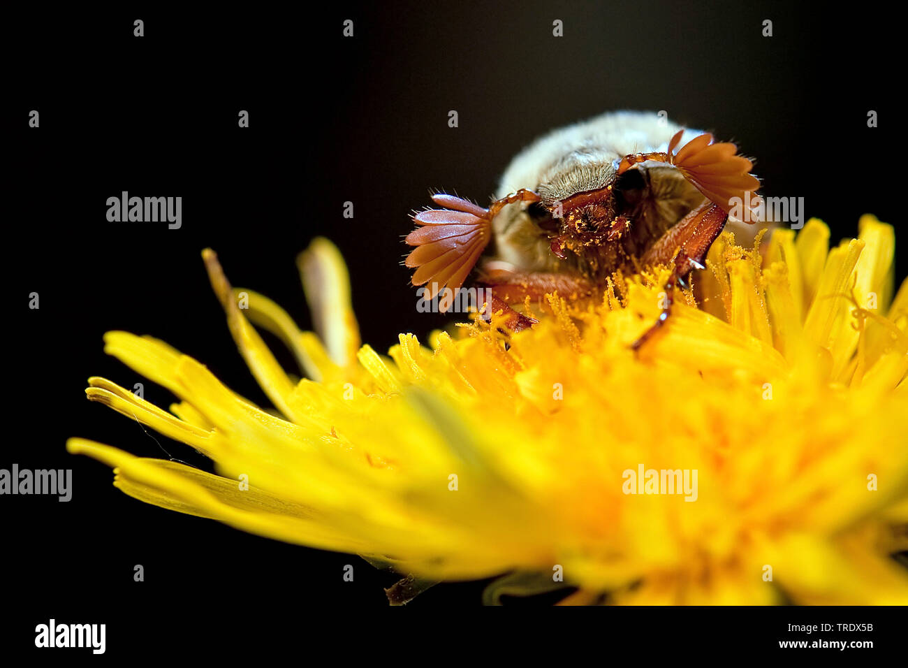 Common cockchafer, Maybug, Maybeetle (Melolontha melolontha), male on yellow blossom, front view, Netherlands, Overijssel Stock Photo