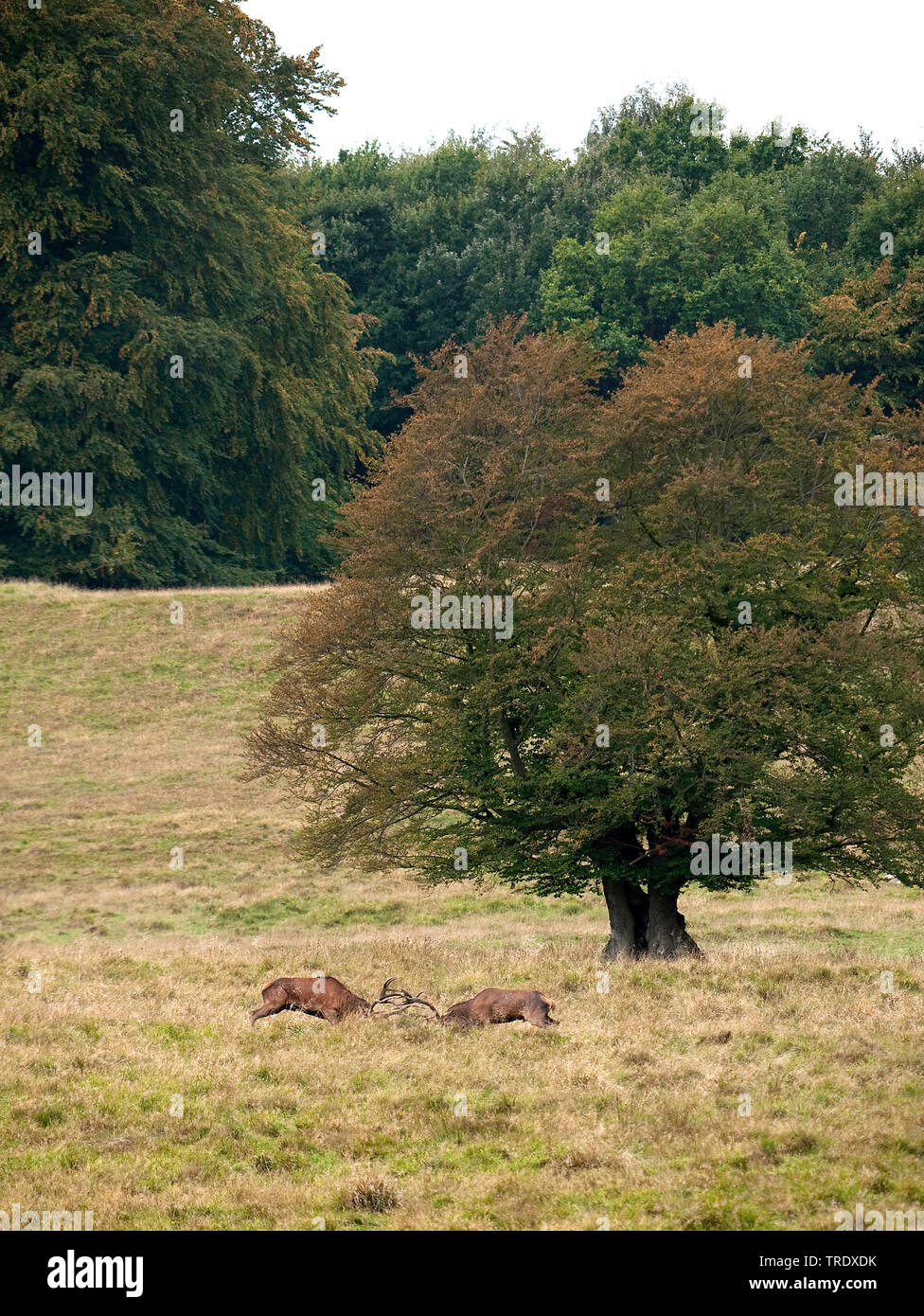 red deer (Cervus elaphus), two fighting stags, side view, Netherlands Stock Photo