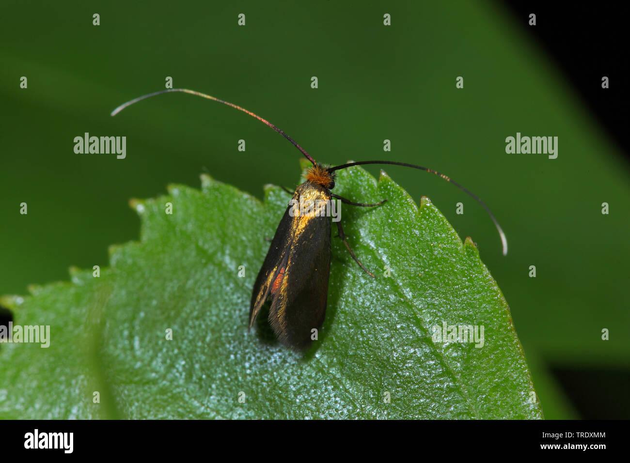 Langhornmotte, Langhorn-Motte, Adela violella (Adela violella), sitzt auf einem Blatt, Deutschland | fairy longhorn moth (Adela violella), sitting on - Stock Image
