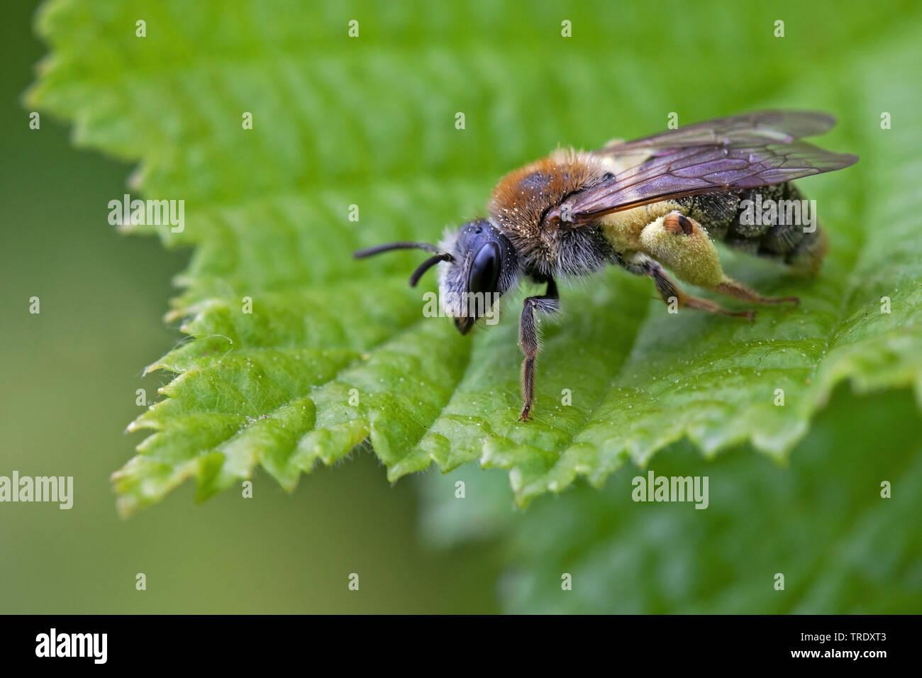Rotschopfige Sandbiene (Andrena haemorrhoa), sitzt auf einem Blatt, Niederlande | Roodgatje, Early Mining Bee, Andrena haemorrhoa (Andrena haemorrhoa) - Stock Image