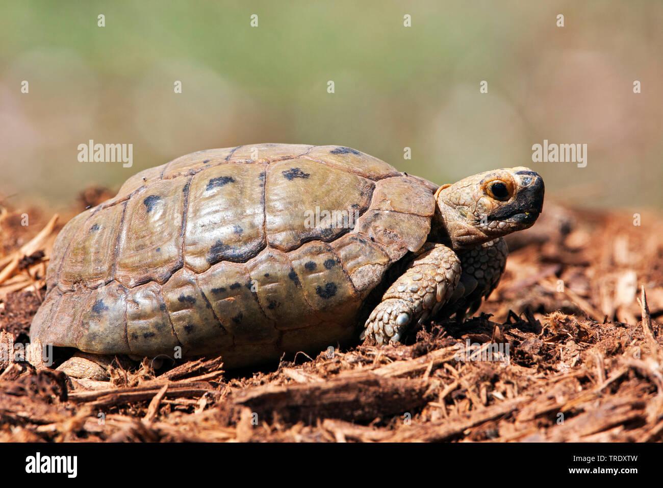 Griechische Landschildkroete, floweri (Testudo hermanni floweri), Seitenansicht, Israel | Hermann's tortoise, Greek tortoise (Testudo hermanni floweri - Stock Image