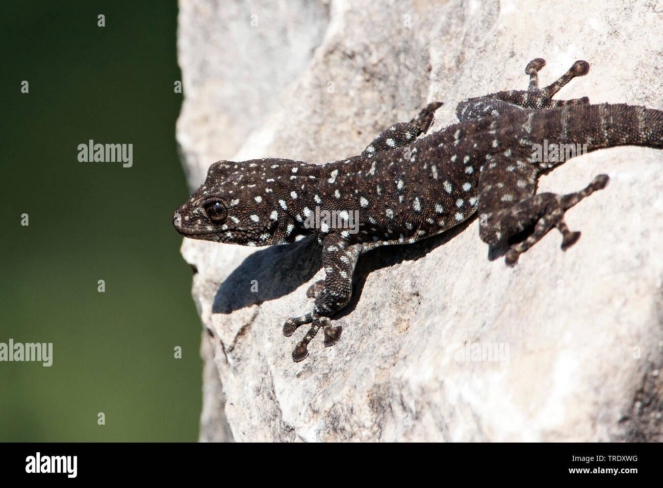 Fan-fingered Gecko (Ptyodactylus puiseuxi), sitting on a rock, Israel Stock Photo