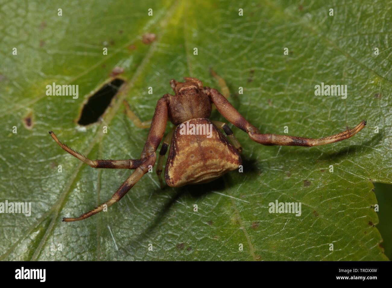 Krabbenspinne, Pistius truncatus (Pistius truncatus), sitzt auf einem Blatt, Frankreich, Cevennen Nationalpark | Crab Spider (Pistius truncatus), sitt - Stock Image