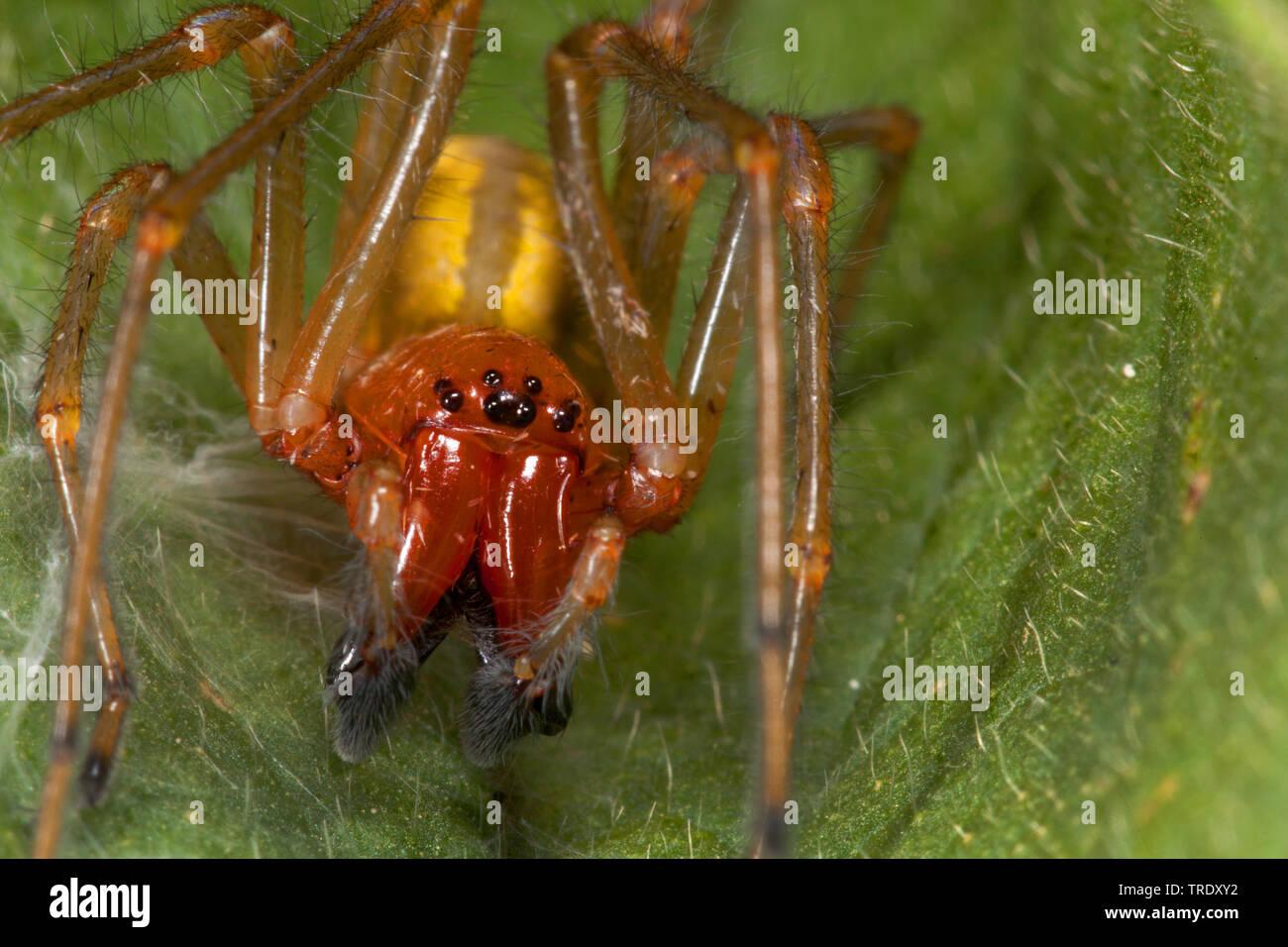 Dornfinger, Ammen-Dornfinger, Ammendornfinger (Cheiracanthium punctorium), sitzt auf einem Blatt, Vorderansicht, Deutschland | European sac spider (Ch - Stock Image