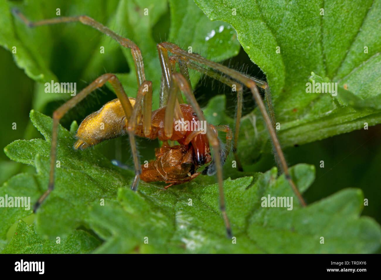 Dornfinger, Ammen-Dornfinger, Ammendornfinger (Cheiracanthium punctorium), sitzt auf einem Blatt, mit Beute, Deutschland | European sac spider (Cheira - Stock Image