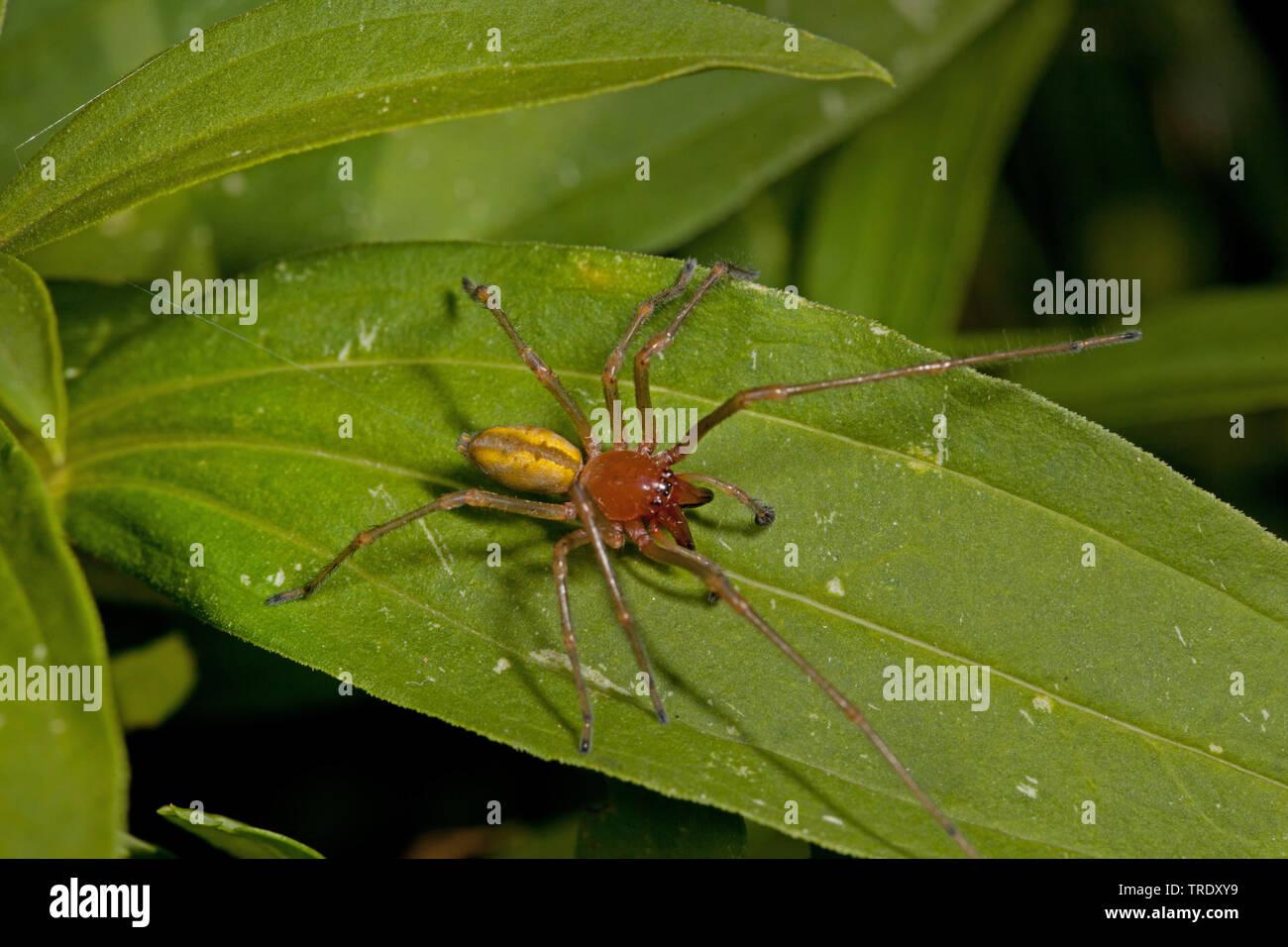 Dornfinger, Ammen-Dornfinger, Ammendornfinger (Cheiracanthium punctorium), sitzt auf einem Blatt, Deutschland | European sac spider (Cheiracanthium pu - Stock Image