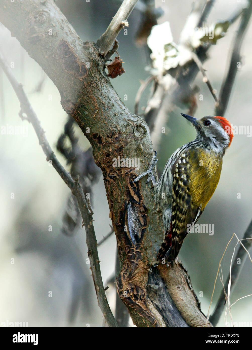 Wacholderspecht, Wacholder-Specht (Dendropicos abyssinicus), Maennchen sitzt auf einem Ast, Aethiopien   golden-mantled woodpecker (Dendropicos abyssi - Stock Image