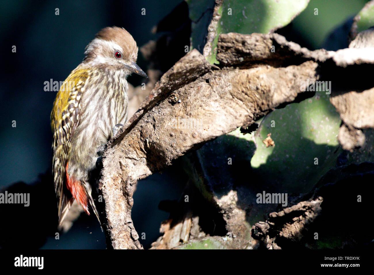 Wacholderspecht, Wacholder-Specht (Dendropicos abyssinicus), Weibchen sitzt auf einem Ast, Aethiopien   golden-mantled woodpecker (Dendropicos abyssin - Stock Image