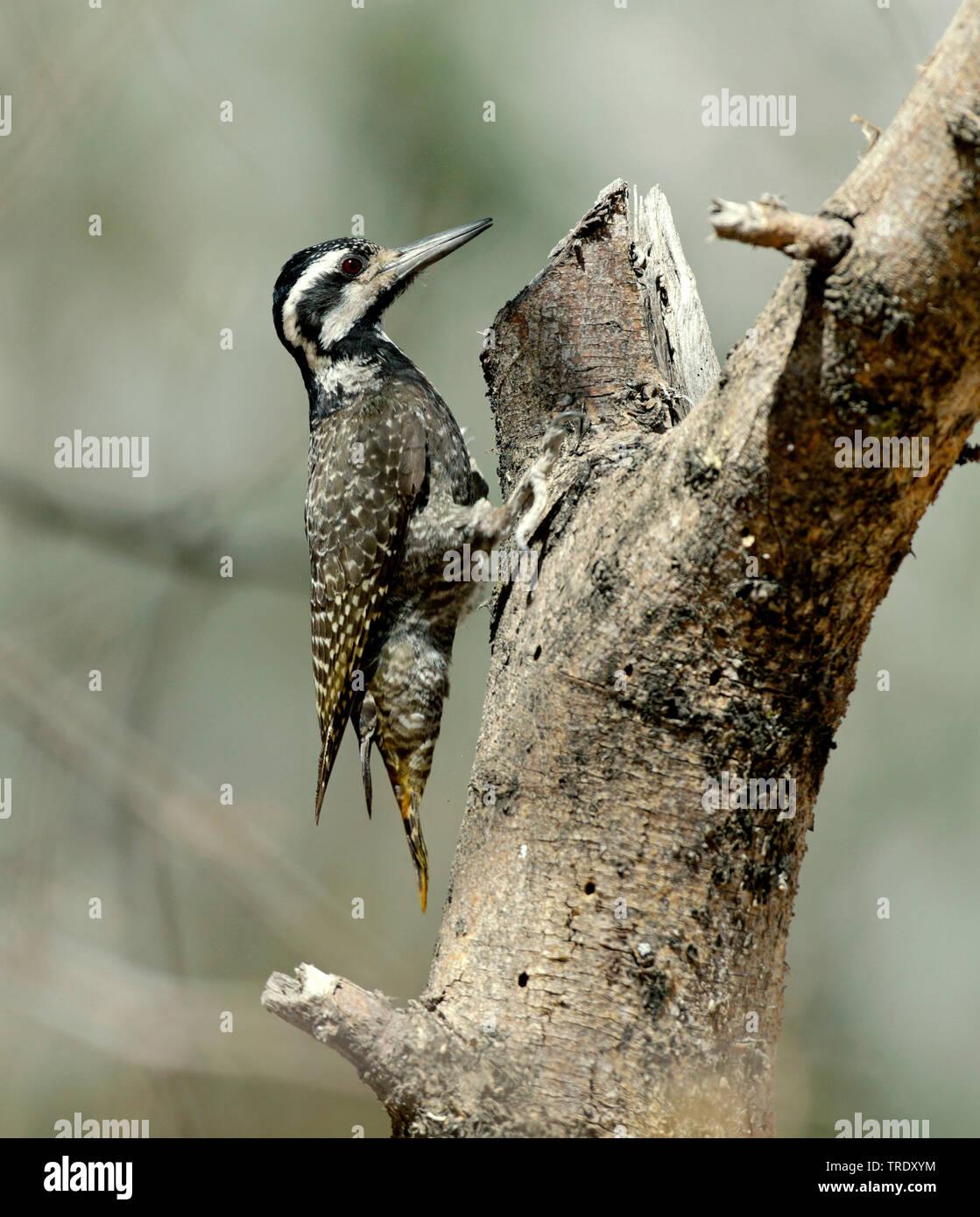 Namaspecht, Nama-Specht (Dendropicos namaquus), Weibchen sitzt auf einem Baum, Aethiopien   bearded woodpecker (Dendropicos namaquus), female sitting - Stock Image