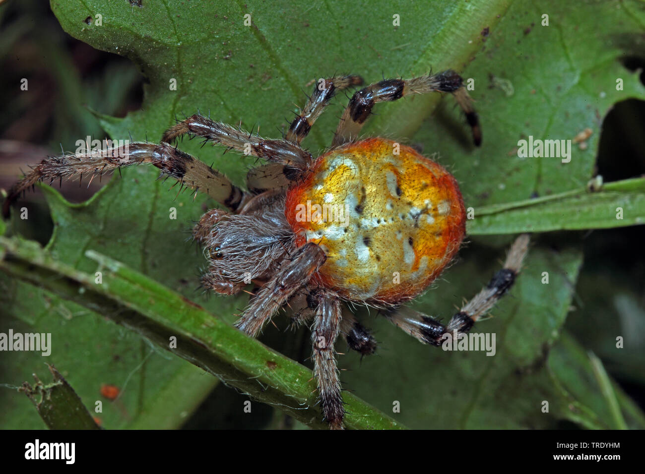 Vierfleck-Kreuzspinne, Vierfleckkreuzspinne (Araneus quadratus), Aufsicht, Deutschland | fourspotted orbweaver (Araneus quadratus), top view, Germany - Stock Image