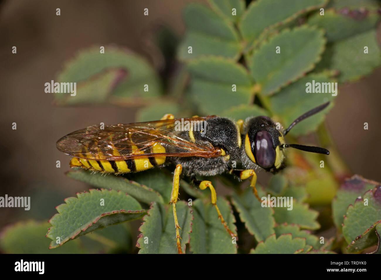 Bienenwolf, Europaeischer Bienenwolf (Philanthus triangulum, Philanthus apivorus), sitzt auf einem Blatt, Deutschland | Bee-killer wasp, Bee-killer (P - Stock Image