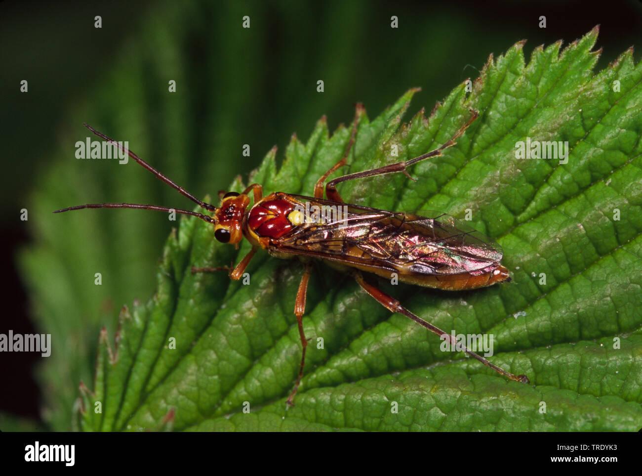 Pflanzenwespe, Tenthredo sordida (Tenthredo sordida, Allantus sordida), sitzt auf einem Blatt, Deutschland | Tenthredo sordida (Tenthredo sordida, All - Stock Image