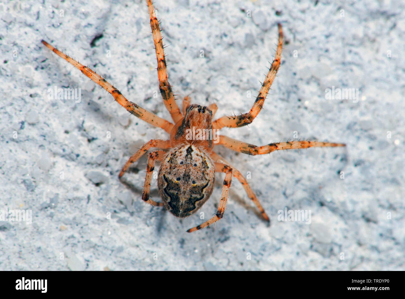 Brueckenkreuzspinne, Bruecken-Kreuzspinne (Larinioides sericatus), Aufsicht, Deutschland | Bridge Orbweaver (Larinioides sericatus), top view, Germany - Stock Image