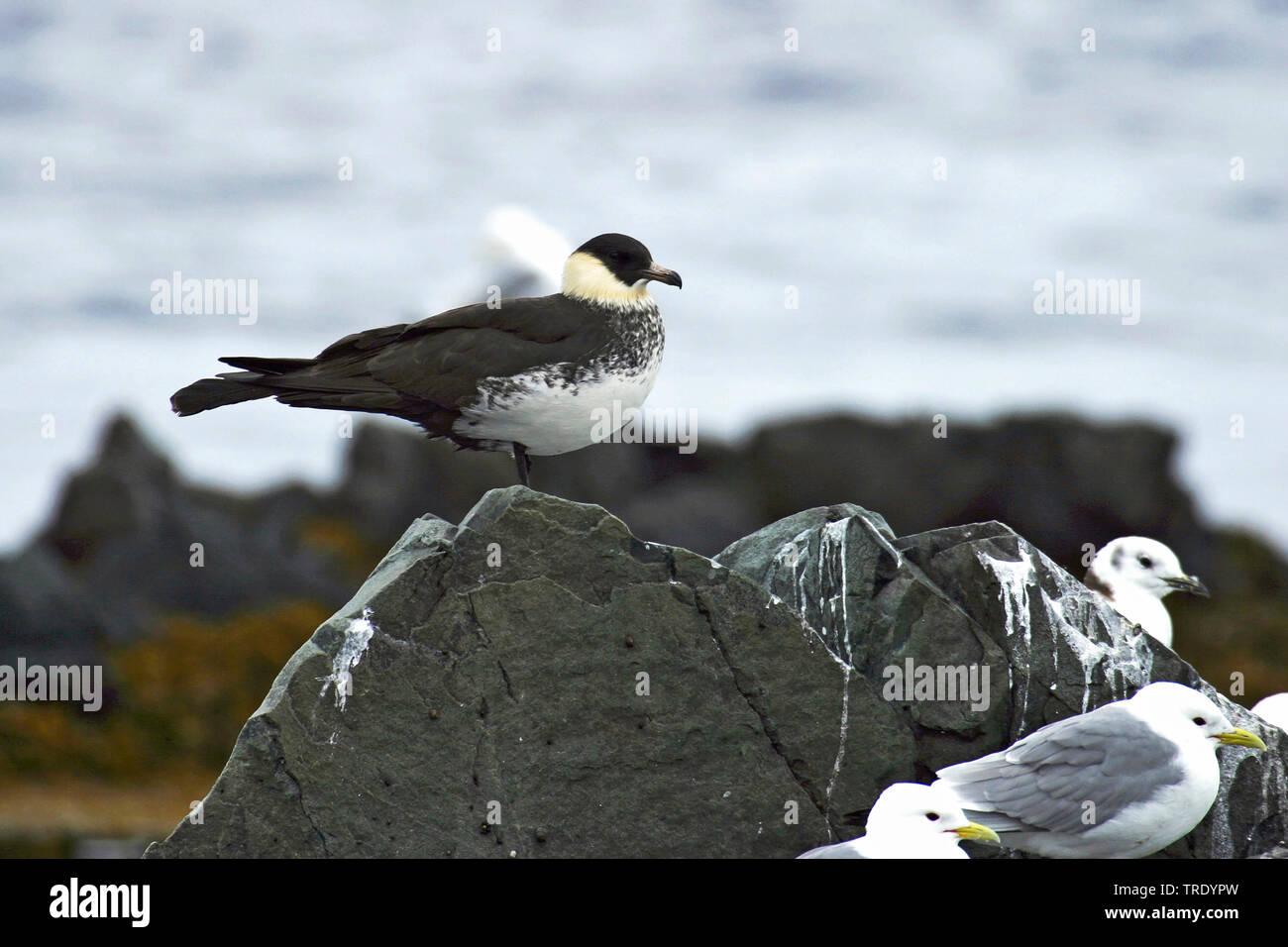 Spatelraubmoewe, Spatel-Raubmoewe (Stercorarius pomarinus), an der Meereskueste , Norwegen, Finnmark | pomarine skua (Stercorarius pomarinus), at sea - Stock Image