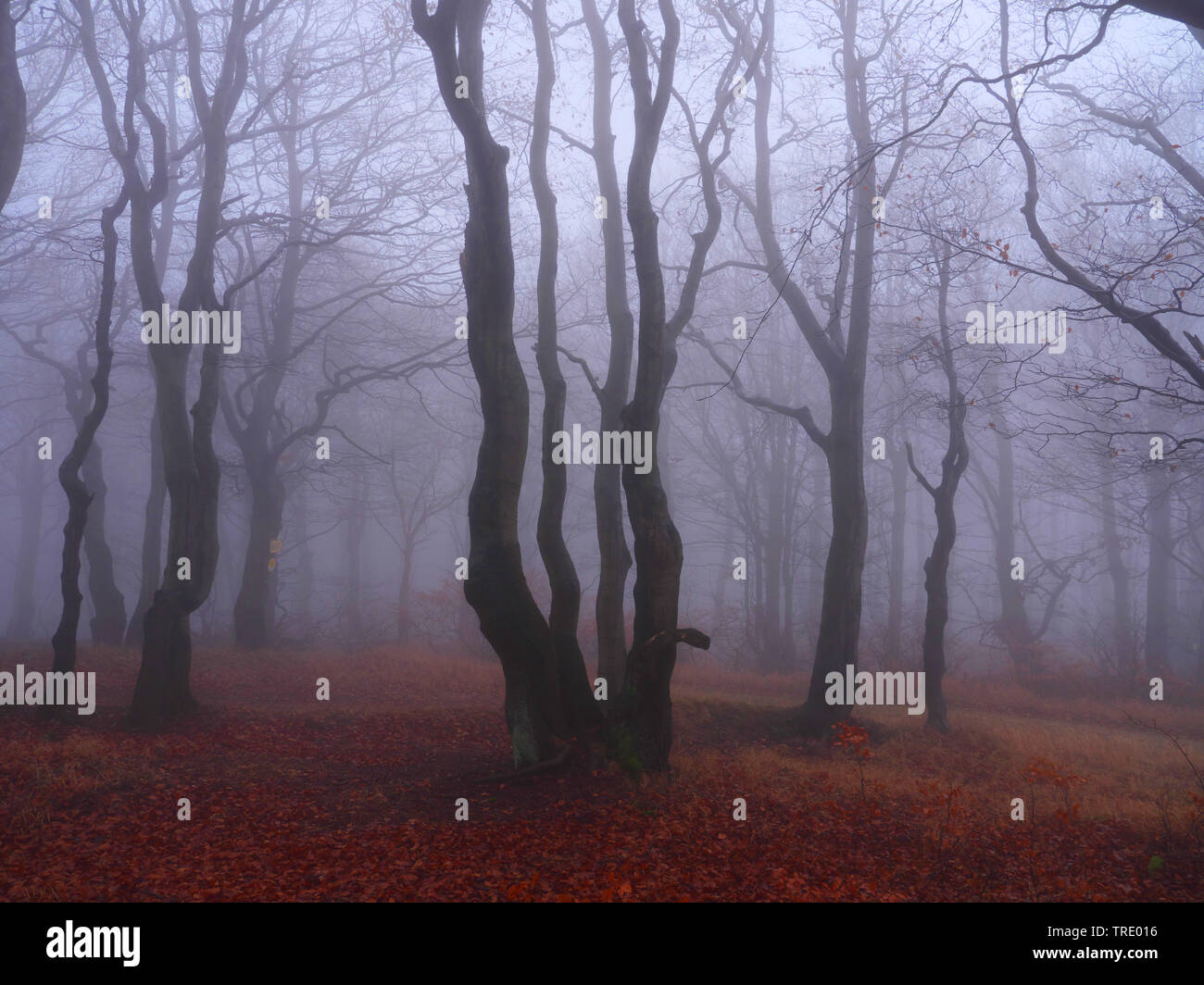 beech forest on Bourak in autumnal mist, Czech Republic, Erz Mountains, Mikulov Stock Photo