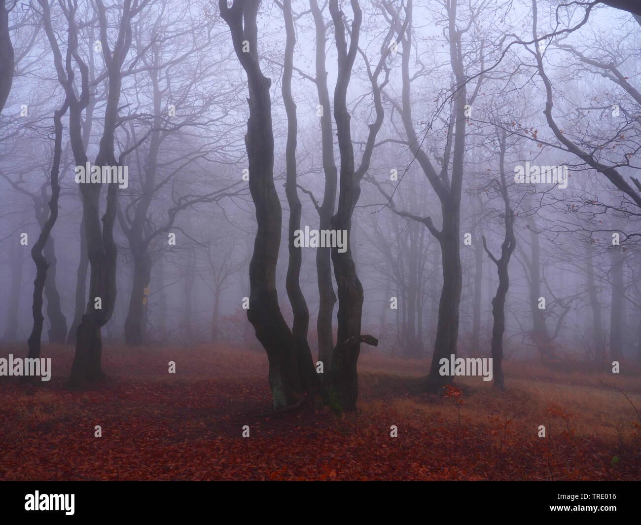 Buchenwald am Stuermer im Herbstnebel, Tschechien, Erzgebirge, Mikulov | beech forest on Bourak in autumnal mist, Czech Republic, Erz Mountains, Mikul - Stock Image