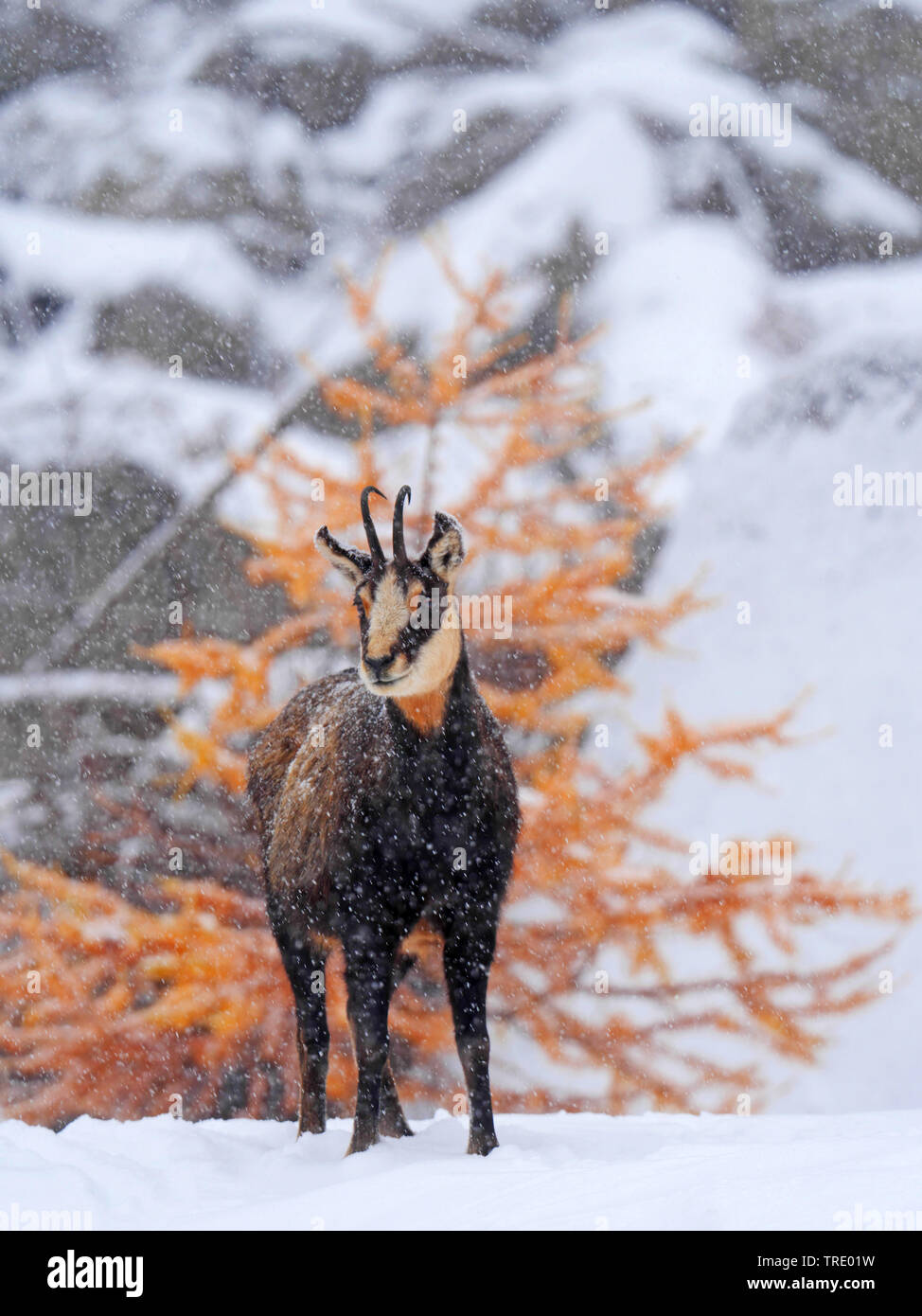 chamois (Rupicapra rupicapra), on a snow-covered mountain slope, discoloured larch in the background, Italy, Gran Paradiso National Park, Val d'Aosta Stock Photo