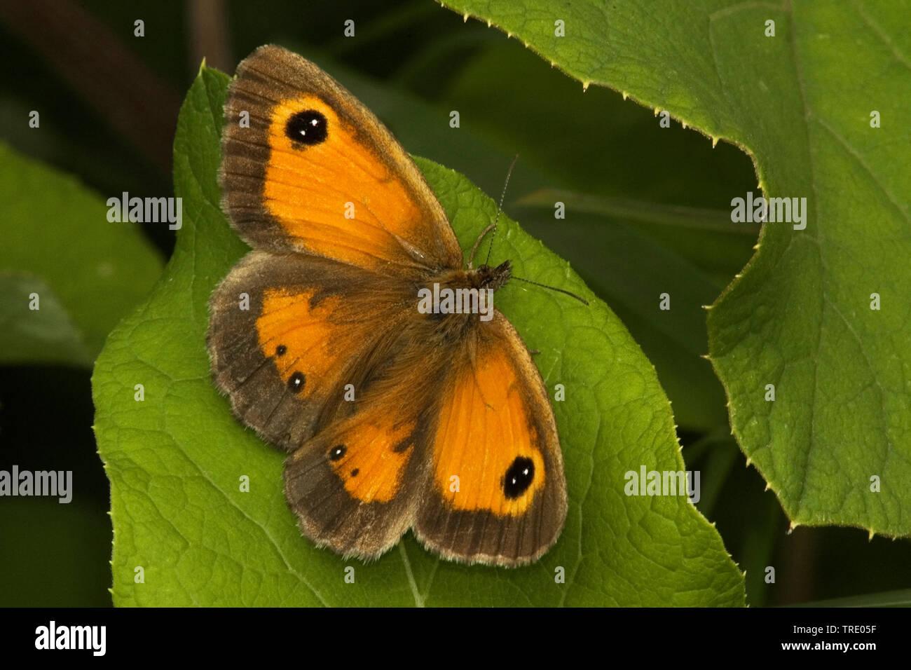 Braungeraendertes Ochsenauge, Rostbraunes Ochsenauge, Rotbraunes Ochsenauge (Pyronia tithonus, Maniola tithonus), sitzt auf einem Blatt, Niederlande, - Stock Image