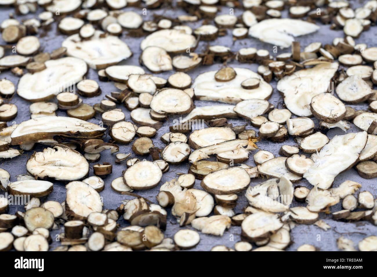 Arznei-Engelwurz, Arzneiengelwurz, Kuesten-Arznei-Engelwurz, Kuesten-Arzneiengelwurz, Kuestenarzneiengelwurz (Angelica archangelica ssp. litoralis), W - Stock Image