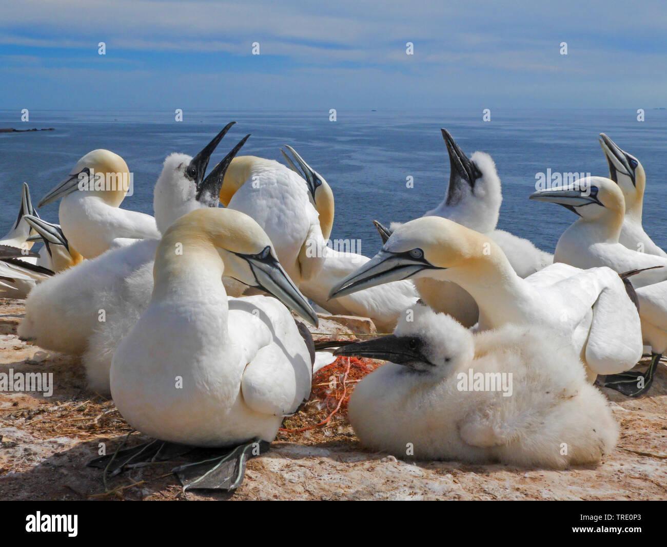 Basstoelpel, Bass-Toelpel (Sula bassana, Morus bassanus), Basstoelpel mit Kueken, Deutschland, Schleswig-Holstein, Helgoland | northern gannet (Sula b - Stock Image