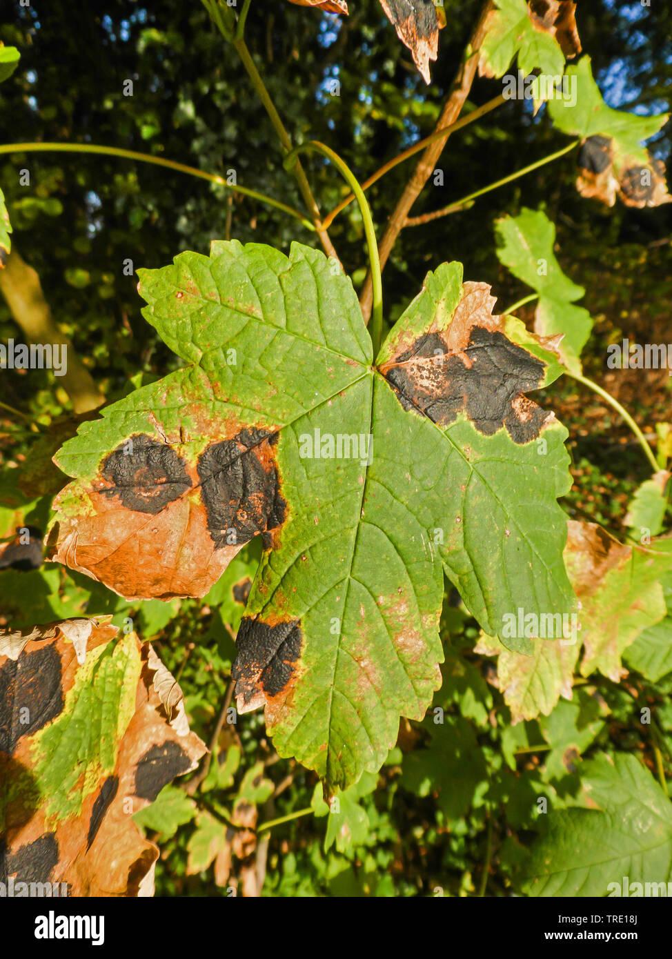 Ahorn-Runzelschorf, Ahornrunzelschorf (Rhytisma acerinum), Teerfleckenkrankheit auf Berg-Ahorn, Deutschland, Niedersachsen | Sycamore tarspot (Rhytism - Stock Image