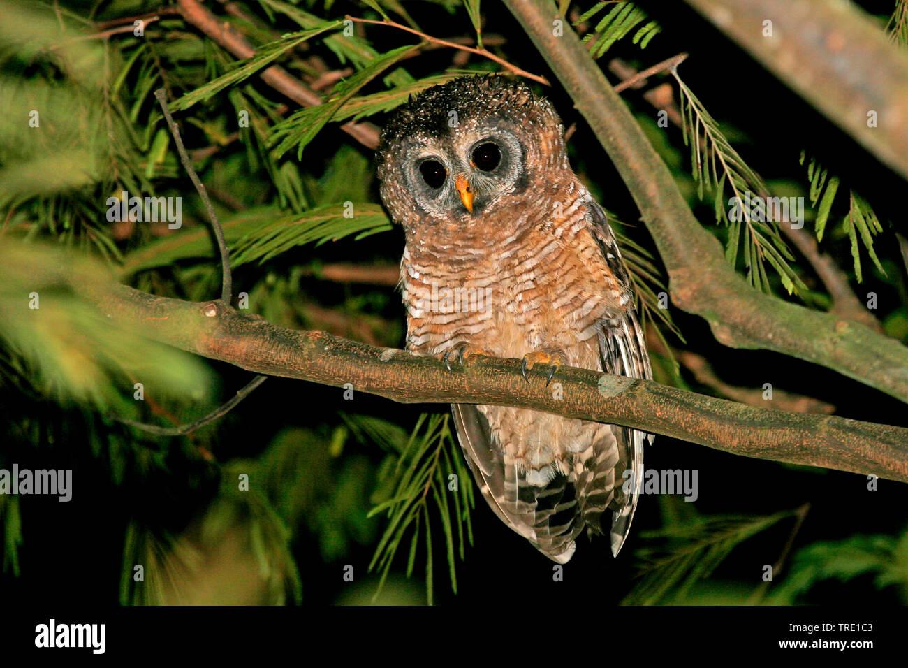 Afrikanischer Waldkauz (Strix woodfordii), sitzt auf einem Zweig, Uganda | African wood owl (Strix woodfordii), on a branch, Uganda | BLWS514554.jpg [ - Stock Image