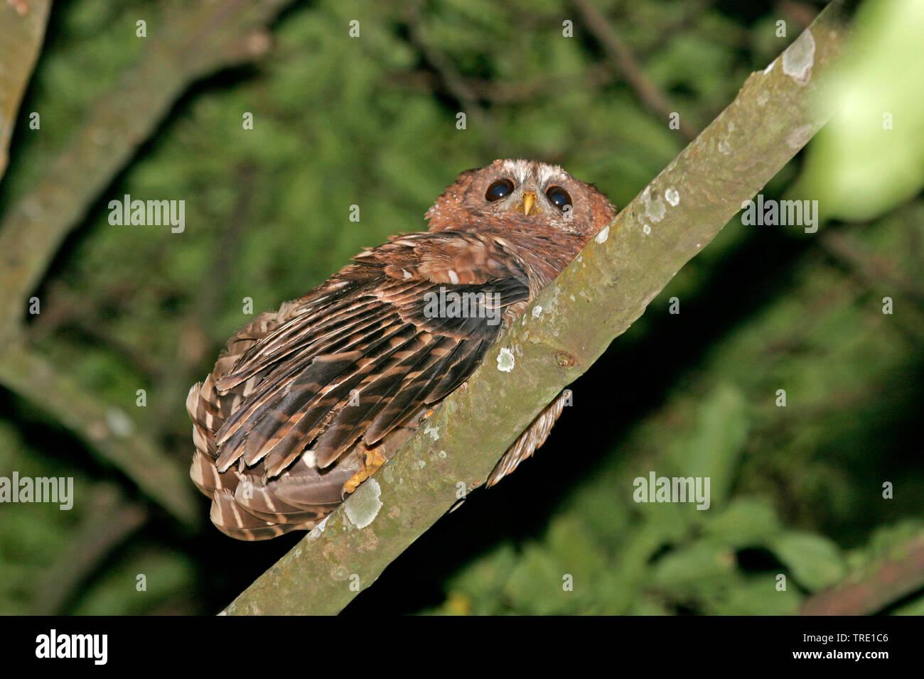 Afrikanischer Waldkauz (Strix woodfordii), sitzt auf einem Zweig, Uganda | African wood owl (Strix woodfordii), on a branch, Uganda | BLWS514555.jpg [ - Stock Image