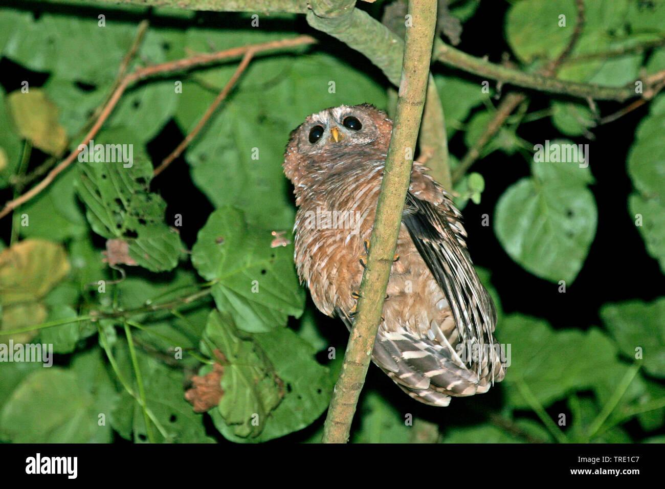 Afrikanischer Waldkauz (Strix woodfordii), sitzt auf einem Zweig, Uganda | African wood owl (Strix woodfordii), on a branch, Uganda | BLWS514556.jpg [ - Stock Image