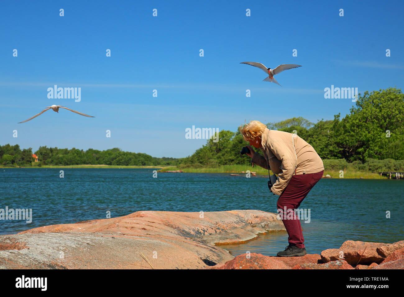 Kuestenseeschwalbe, Kuesten-Seeschwalbe (Sterna paradisaea), Frau fotografiert eine Kuestenseeschwalbe, die nicht fotografiert werden moechte, Finnlan - Stock Image