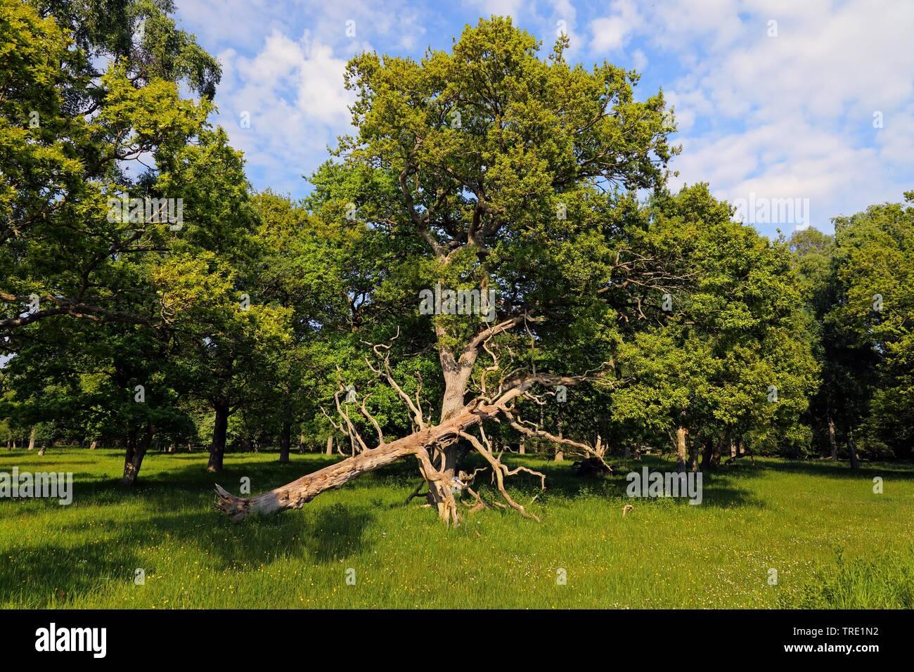 Eichenwald mit umgestuerztem Baum, Schweden, Oeland, Ottenby lund, O Combuco   oak forest with fallen tree, Sweden, Oeland, Ottenby lund, O Combuco   - Stock Image